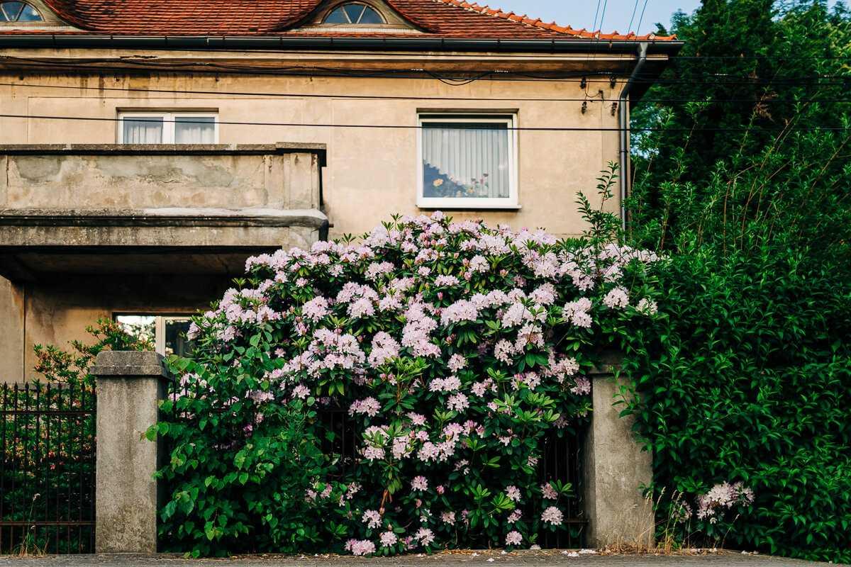 Gdzie rośnie największy rododendron?